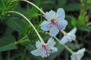 Фото 44 Ночной цветок мирабилис: все, что нужно знать о сортах, посадке и уходе