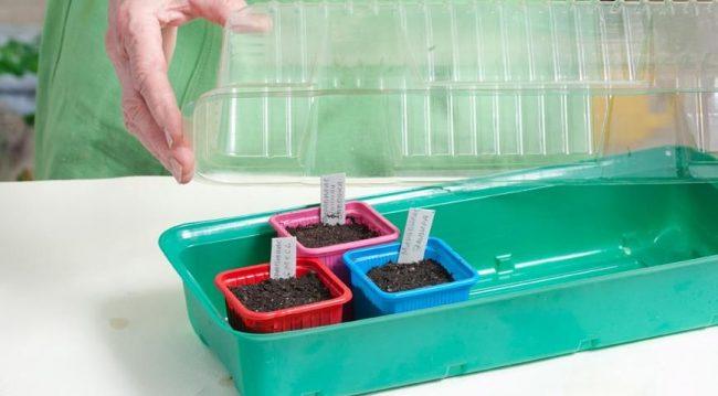 Накройте крышкой горшочки с семенами мирабилиса для быстрого взращивания