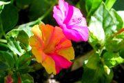 Фото 47 Ночной цветок мирабилис: все, что нужно знать о сортах, посадке и уходе