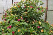 Фото 49 Ночной цветок мирабилис: все, что нужно знать о сортах, посадке и уходе