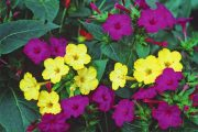 Фото 52 Ночной цветок мирабилис: все, что нужно знать о сортах, посадке и уходе