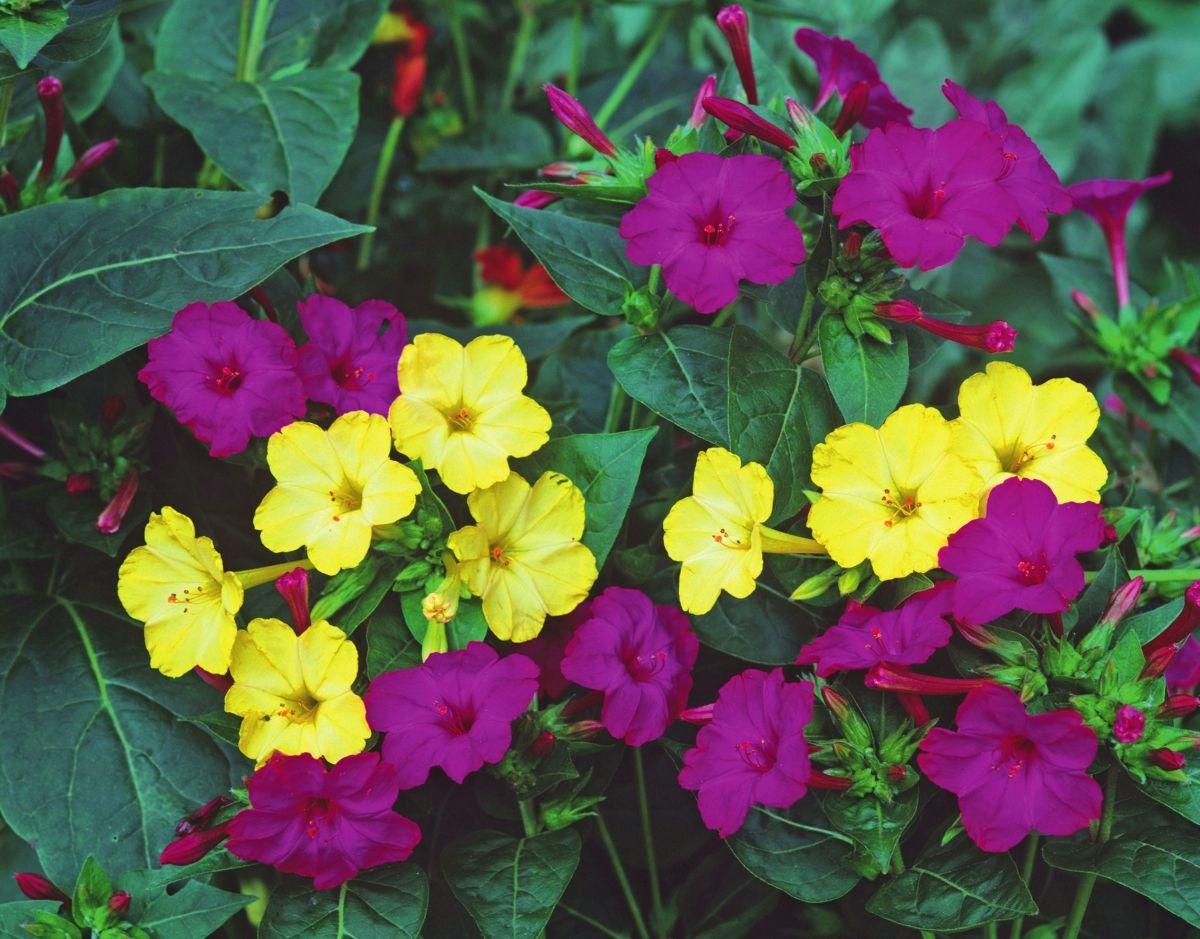 Цветок ночная красавица (мирабилис посадка и уход, фото) 70