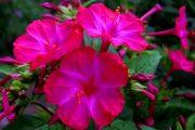 Фото 53 Ночной цветок мирабилис: все, что нужно знать о сортах, посадке и уходе