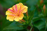 Фото 54 Ночной цветок мирабилис: все, что нужно знать о сортах, посадке и уходе