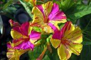 Фото 8 Ночной цветок мирабилис: все, что нужно знать о сортах, посадке и уходе