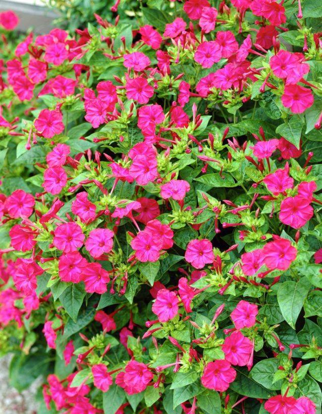 Цветение кустов мирабилис