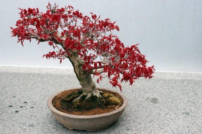 Красивый вид бонсая с красной листвой