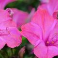 Ночной цветок мирабилис: все, что нужно знать о сортах, посадке и уходе фото