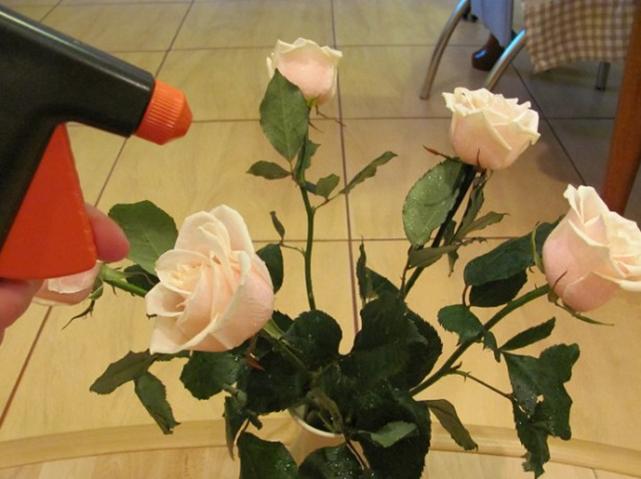 Опрыскивание розы из пульверизатора