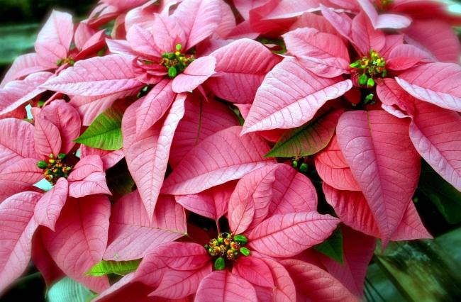 Главное условие для цветения пуансетии - комфортный температурный режим