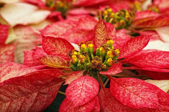 Желтенькие цветочки пуансетии не несут эстетической ценности. Куда важнее уделить внимание ее прицветникам