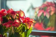 Фото 15 Пуансетия: уход в домашних условиях и все тонкости обрезки, размножения