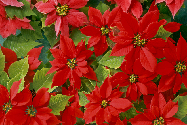 Цветущая пуансетия порадует вас яркими красками в зимнее время года