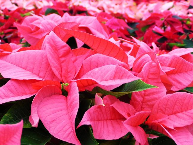 Розовая пуансетия неприхотлива в уходе и подойдет в качестве подарка даже неопытным хозяйкам