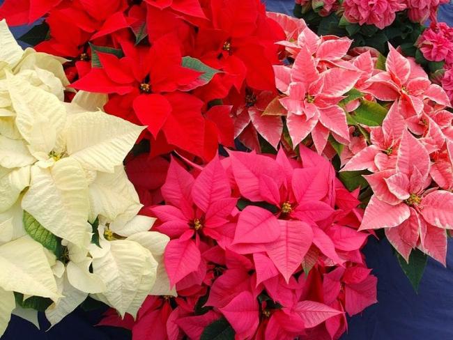 Садоводы предлагают купить несколько сортов пуансетии - однотонных или со светлыми прожилками