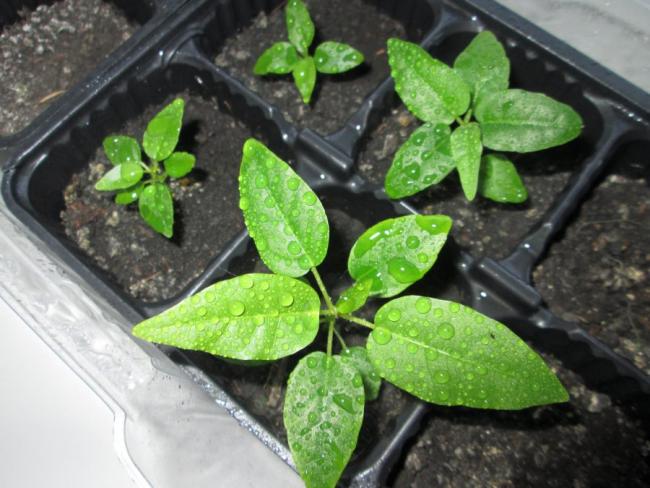 Фикус Бенджамина Дунетти. Выращивание из семян