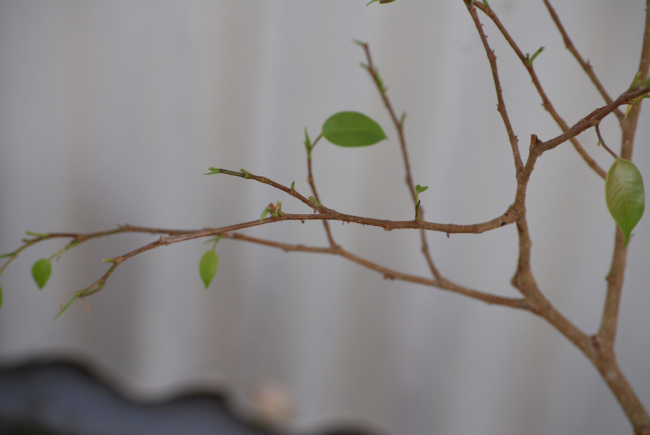 Одна из причин необходимости пересаживания фикуса Бенджамина - это опадание листьев