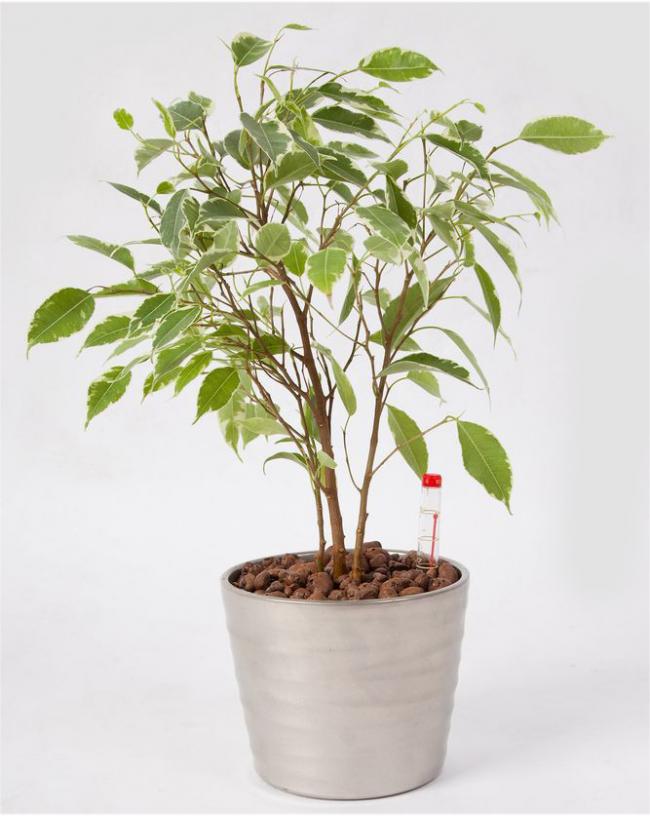Фикус Бенджамина Даниэль довольно не капризное домашнее растение