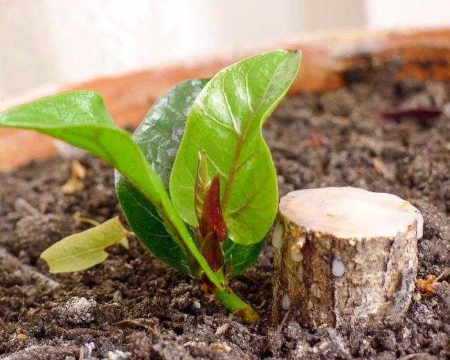 Как вырастить фикус Бенджамина из веточки? Легко! Один из способов размножения фикуса – веточка, посаженная в землю
