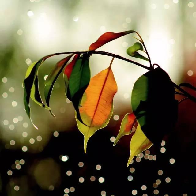 От недостатка влаги листья фикуса Бенджамина желтеют и опадют