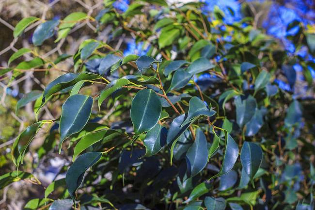 Фикус с темно-зелеными листьями - самый распространенный цветовой вариант такого растения