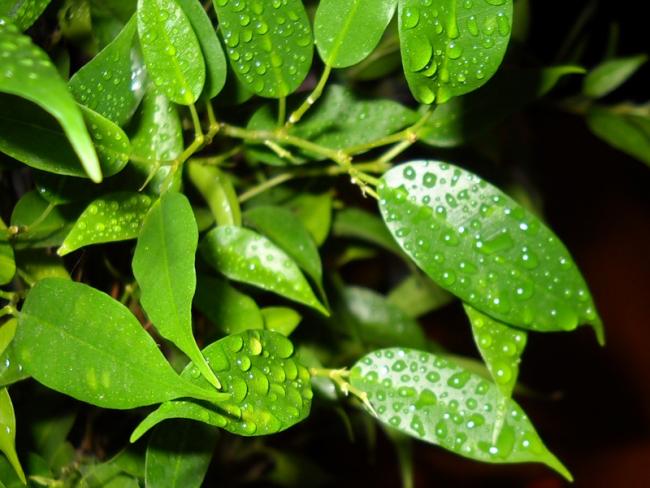 Сухость воздуха провоцирует сбрасывание листьев, поэтому фикус Бенджамина нуждается в постоянному опрыскивании водой