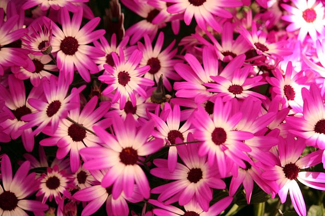 Остеоспермум способен сохранить черты нескольких сортов соседних растений