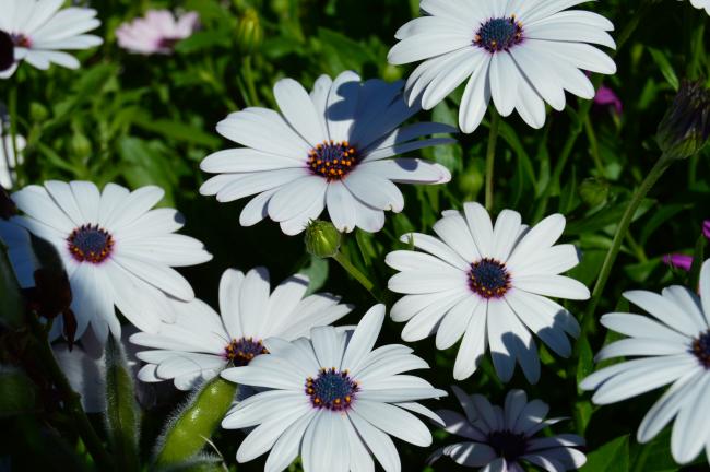 Сильвер Спарклер - сорт, который наиболее напоминает знакомую ромашку. Белые крупные цветы будут радовать вас с июля до сентябрь