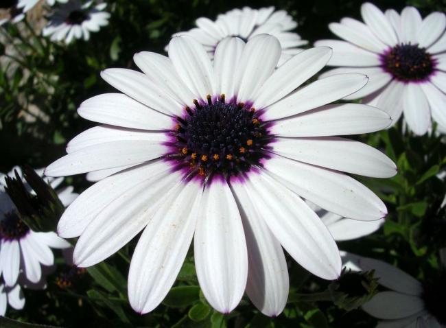 Махровый остеоспермум белого цвета