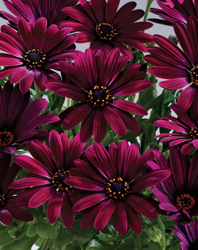 Остеоспермум легко размножается при помощи семян. Вы можете сами засадить клумбу цветками