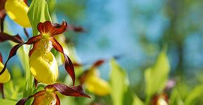 Венерин башмачок: особенности выращивания, правильного полива и пересадки фото