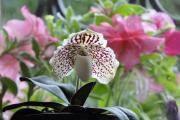 Фото 1 Венерин башмачок: особенности выращивания, правильного полива и пересадки