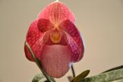 Фото 3 Венерин башмачок: особенности выращивания, правильного полива и пересадки