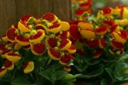 Фото 8 Венерин башмачок: особенности выращивания, правильного полива и пересадки
