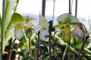 Фото 9 Венерин башмачок: особенности выращивания, правильного полива и пересадки