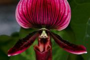 Фото 14 Венерин башмачок: особенности выращивания, правильного полива и пересадки