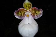 Фото 15 Венерин башмачок: особенности выращивания, правильного полива и пересадки