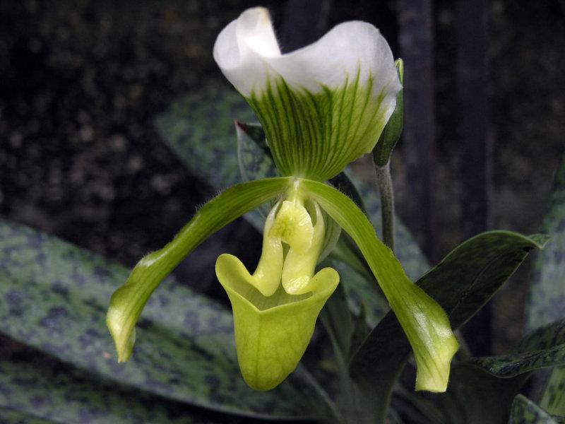 Венерин башмачок: виды, выращивание, уход и пересадка
