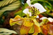 Фото 22 Венерин башмачок: особенности выращивания, правильного полива и пересадки