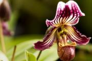 Фото 23 Венерин башмачок: особенности выращивания, правильного полива и пересадки