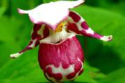 Фото 25 Венерин башмачок: особенности выращивания, правильного полива и пересадки