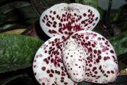 Фото 28 Венерин башмачок: особенности выращивания, правильного полива и пересадки