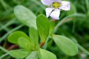 Фото 1 Бакопа: выращивание из семян и все, что нужно знать о ее сортах и уходе