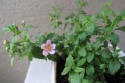 Фото 11 Бакопа: выращивание из семян и все, что нужно знать о ее сортах и уходе