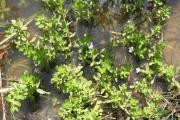 Фото 12 Бакопа: выращивание из семян и все, что нужно знать о ее сортах и уходе