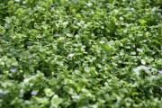 Фото 13 Бакопа: выращивание из семян и все, что нужно знать о ее сортах и уходе