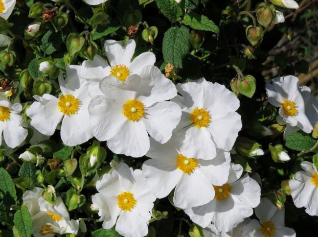 Чем крупнее цветки бакопы, тем больше растение нуждается в уходе