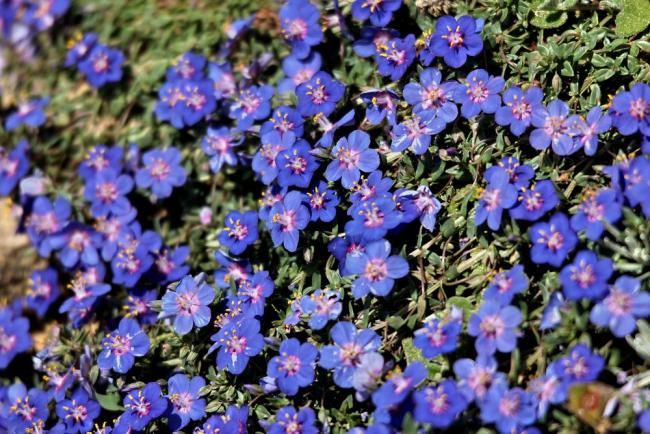 Соблюдение нехитрых правил в уходе - гарантия красивого и обильного цветения бакопы
