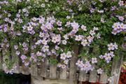 Фото 18 Бакопа: выращивание из семян и все, что нужно знать о ее сортах и уходе