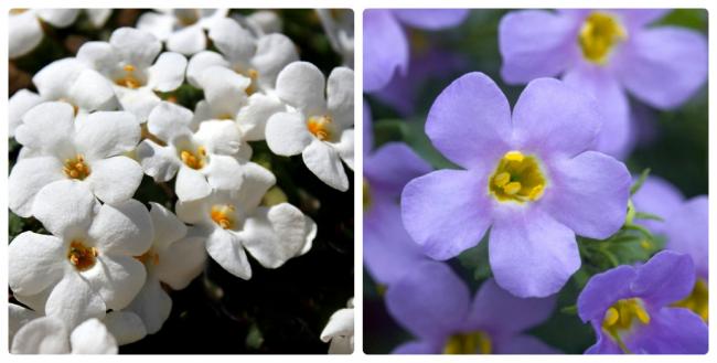 Дабл блу бакопа с яйцевидными листиками выгодно выделяется на фоне других растений